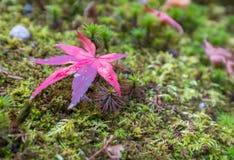 Красный кленовый лист на влажной зеленой траве Стоковое Изображение RF