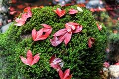 Красный кленовый лист на зеленом утесе мха Стоковые Изображения