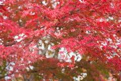 Красный клен на дереве стоковые изображения rf