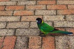 Красный клинкер облицовывает предпосылку текстуры с зеленым попугаем кольц-шеи стоковые изображения