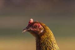 Красный конец-Вверх головы цыпленка Стоковое Изображение RF