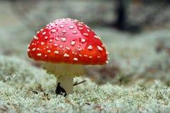 Красный конец-вверх гриба мухомора Стоковые Фото