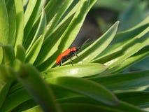 Красный конец-вверх жука Стоковые Изображения