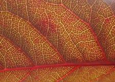 Красный конец листьев вверх Стоковые Изображения