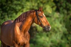 Красный конец лошади вверх стоковая фотография