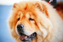 Красный конец собаки Chow Chow Китаев вверх Стоковая Фотография