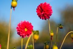 Красный конец цветка вверх в природе Закройте вверх китайского цветка гибискуса в красном цвете с запачканной предпосылкой природ стоковые фото