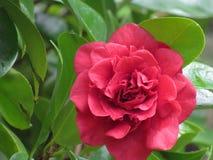 Красный конец цветка вверх поднял стоковая фотография rf