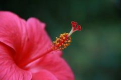 Красный конец цветка гибискуса вверх Стоковые Изображения