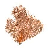 Красный коралл вентилятора Gorgonian или Красного Моря изолированный на белой предпосылке Стоковая Фотография RF