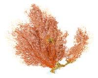 Красный коралл вентилятора Gorgonian или Красного Моря изолированный на белой предпосылке Стоковое Фото