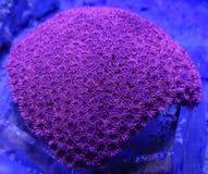 Красный коралл Goniopora Стоковое Изображение RF