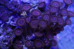 Красный коралл Palythoa Стоковые Изображения RF