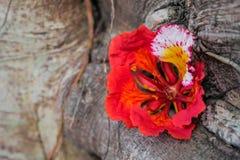Красный королевский цветок Poinciana или Flam-boyan Стоковое Фото