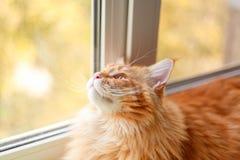 Красный котенок енота Мейна смотря из окна стоковые изображения rf