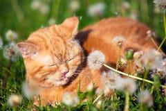 Красный котенок лежа на поле одуванчика стоковые изображения rf