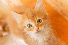 Красный котенок смотря прямо на камере стоковая фотография rf