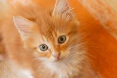 Красный котенок смотря прямо на камере стоковые фотографии rf