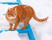 Красный кот гуляя в снежок Стоковое Изображение