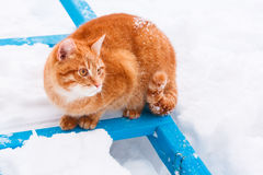 Красный кот гуляя в снежок Стоковое Изображение RF