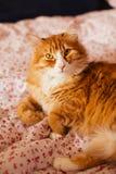 Красный кот лежит на кровати Стоковая Фотография