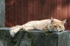 Красный кот лежит на сером камне Стоковое Изображение RF