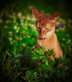Красный кот играя снаружи Стоковые Изображения