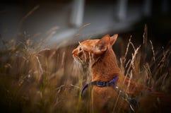 Красный кот играя снаружи Стоковое фото RF