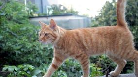 Красный кот идет левое и мяукает сток-видео