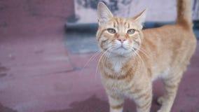 Красный кот идя на бетон видеоматериал