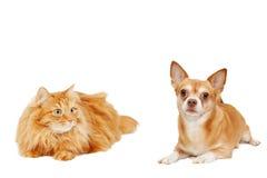 Красный кот и изолированная собака чихуахуа Стоковое Изображение