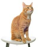 Красный кот на белой предпосылке сидя на стуле Стоковые Фото