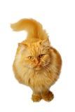 Красный кот на белой предпосылке смотря вверх Стоковое Фото