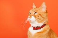 Красный кот на оранжевой предпосылке стоковая фотография rf