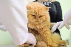 Красный кот на рассмотрении в ветеринарной клинике стоковые изображения rf