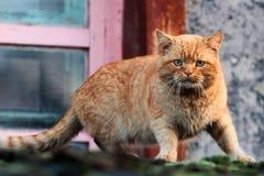 Красный кот на сигнале тревоги Стоковое Изображение RF