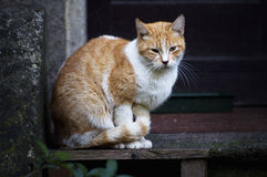 Красный кот дома Стоковые Фотографии RF
