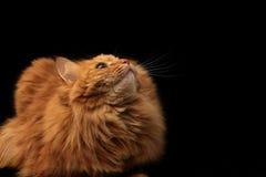 Красный кот смотря вверх Стоковое Изображение RF