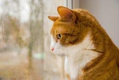 Красный кот смотря дождь в окне Стоковые Изображения