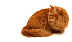 Красный кот снятый на белой предпосылке Стоковая Фотография
