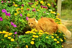 Красный кот среди цветков стоковая фотография