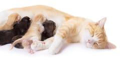 Красный кот с котятами Стоковые Изображения RF