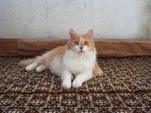 Красный кот с янтарными глазами стоковые фото