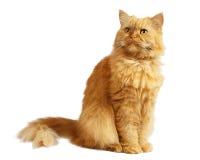 Красный кот Стоковая Фотография RF