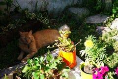 Красный кот Стоковое Изображение RF