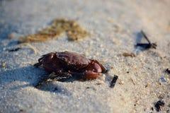 Красный краб на песчаном пляже Стоковая Фотография