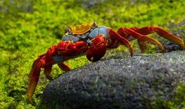 Красный краб сидя на утесах острова galapagos океан pacific эквадор Стоковая Фотография RF
