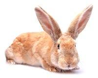Красный кролик зайчика изолированный на белой предпосылке сидит holida пасхи Стоковое фото RF
