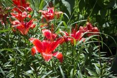 Красный крупный план цветка лилии в саде Стоковые Изображения RF