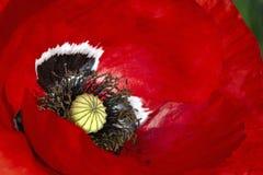 Красный крупный план мака Стоковые Фото